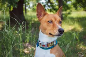 Basenji Dog Walking In The Park. Dog In ...
