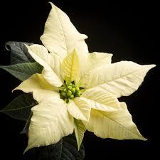 Weihnachtssterne Minipflanzen Poinsettia Christmas Feelings