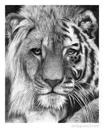 detailed lion drawings in pencil. Modren Drawings Tiger Lion Hybrid With Detailed Drawings In Pencil O