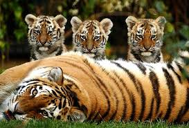 Image result for images of tigers