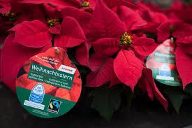 Weihnachtssterne Mit Gutem Gewissen Kaufen Toom Stellt