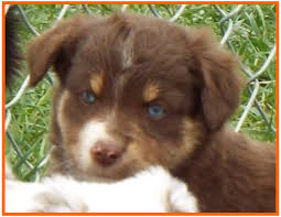 Bandits Spring Litter 1 Pup4 Bet Blue Eyed Red Tri Male Miniature