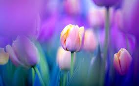 spring tulip desktop wallpaper. Beautiful Desktop Purple Tulips Ultra HD Wallpaper  Tulip Flowers Background Wallpapers  Pictures Photos Images With Spring Desktop