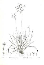 Black And White Botanical Art Google Leit Botanical Art