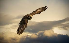 Image result for falcon bird