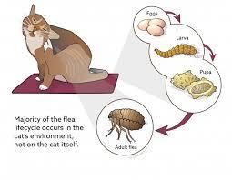 <b>Flea</b> Control in Cats | VCA <b>Animal</b> Hospital