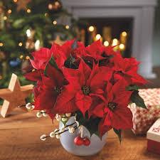 Poinsettia Designs Poinsettia Care Tips 9 Golden Rules For A Poinsettia Plant