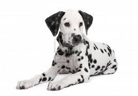 dalmatian help with dalmatain ears fursuit