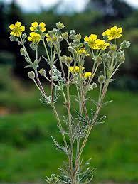 Silver Cinquefoil, Potentilla argentea - Flowers - NatureGate