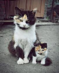 fluffy baby calico kittens. Delighful Calico A Furry Calico Cat And Her Adorable Matching Kitten  Animalswithminiatureversionsofthemselves1 On Fluffy Baby Calico Kittens E