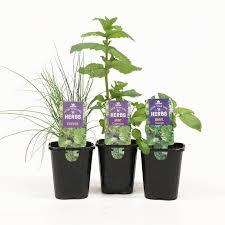 kings herb range 10cm