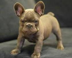 handsome akc blue french bulldog