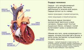 Интересные факты о сердце человека Сердце реферат 3 класс