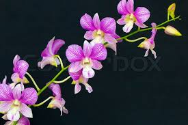 orchid purple color. Beautiful Purple Orchid Purple Color Thai Species On Isolated Background  Stock Photo  Colourbox On Purple Color H