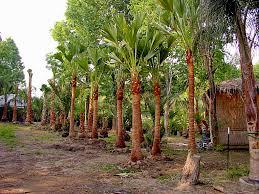fan palm trees. caribbean fan palm trees 2-13ft trunks in stock