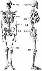 「骨格」の画像検索結果
