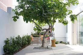 10 spectacular trees for courtyards and
