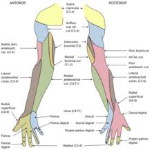 cutaneous innervation of the right upper extremity areas innervated by the ulnar nerve are the areas on the hand colored in light blue