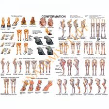 Equine Conformation Chart Horse Charts Posters Industrial
