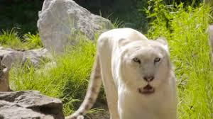 white lioness with blue eyes. Plain Lioness A White Lioness Looking Intensely With Her Blue Eyes In This Beautiful  Close Up Footage This Was Taken At Belgrade Serbia Zoo Stock Video Footage   For White Lioness With Blue Eyes A