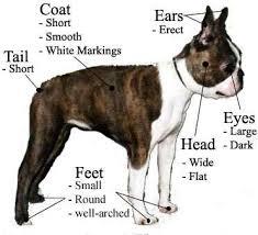 Tα χαρακτηριστικά του Boston Terrier...
