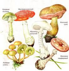 Шляпочные грибы съедобные и ядовитые урок Биология Бактерии  Шляпочные грибы съедобные и ядовитые урок Биология Бактерии Грибы Растения 5 6 класс