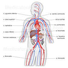 purpose of the circulatory system  circulatory system essay throughout purpose of the circulatory system