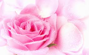 pink color images pretty pink roses wallpaper hd wallpaper and background photos
