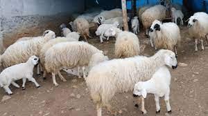 خروف العيد , خروف , صوت الغنم , صوت خروف , معزة , صوت الماعز - YouTube
