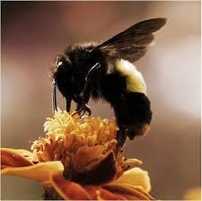 ble bee on flower
