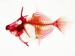 show image caption image of the skeletal structure of a fish cleared and stained leatherjacket