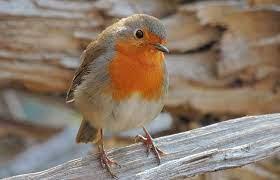 British garden birds: autumn and winter highlights | Natural History Museum