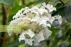Hydrangea quercifoli... stock photo by FhF Greenmedia, Image: 1436950