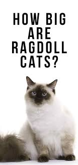 How Big Are Ragdoll Cats Your Ragdoll Size Guide Cute