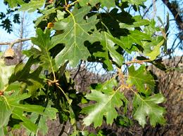 Image result for Black Oak Tree