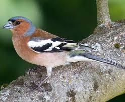 British Garden Birds Chart Common Birds In English Gardens Iwsy Face Com