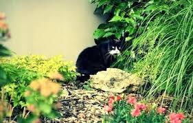 cat repellent for garden. Garden Cat Deterrent Plants 3 4 N . Repellent For B
