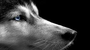 1600x900 33 siberian husky hd wallpapers background images wallpaper abyss
