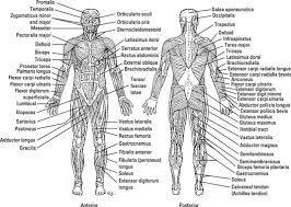 It is found only in the heart, where it forms that organ's thick walls. What S In A Name Identifying Muscles Dummies