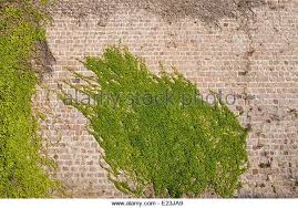 Thorny Problems What Is A Good Climbing Plant To Cover A Wall Wall Climbing Plants