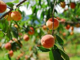 نتيجة بحث الصور عن fruit tree