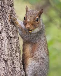 eastern grey squirrel toronto