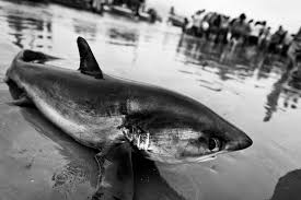 shark slaughter shark overfishing in photo essay from  shark slaughter shark overfishing in photo essay from