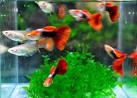 Сколько живут скалярии в аквариуме в домашних условиях