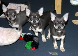 chihuahua pups for rehoming pets dogs