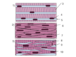 Smooth muscle is composed of sheets or strands of smooth muscle cells. Muscle Tissue Wikipedia