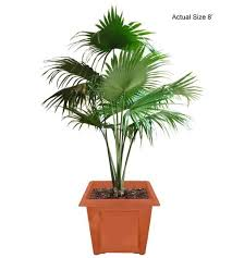 fan palm trees. medium chinese fan palm tree (livistona chinensis) - real trees