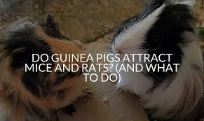 do guinea pigs attract mice and rats