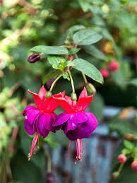 October GBBD A Few Fall Favorites For Flowers  CAROLYNu0027S SHADE Climbing Plants That Like Shade