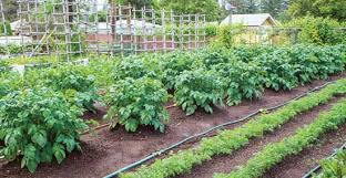 drip system for garden. Drip Irrigation For Vegetable Garden Choose The Best Watering Systems Organic Gardening System